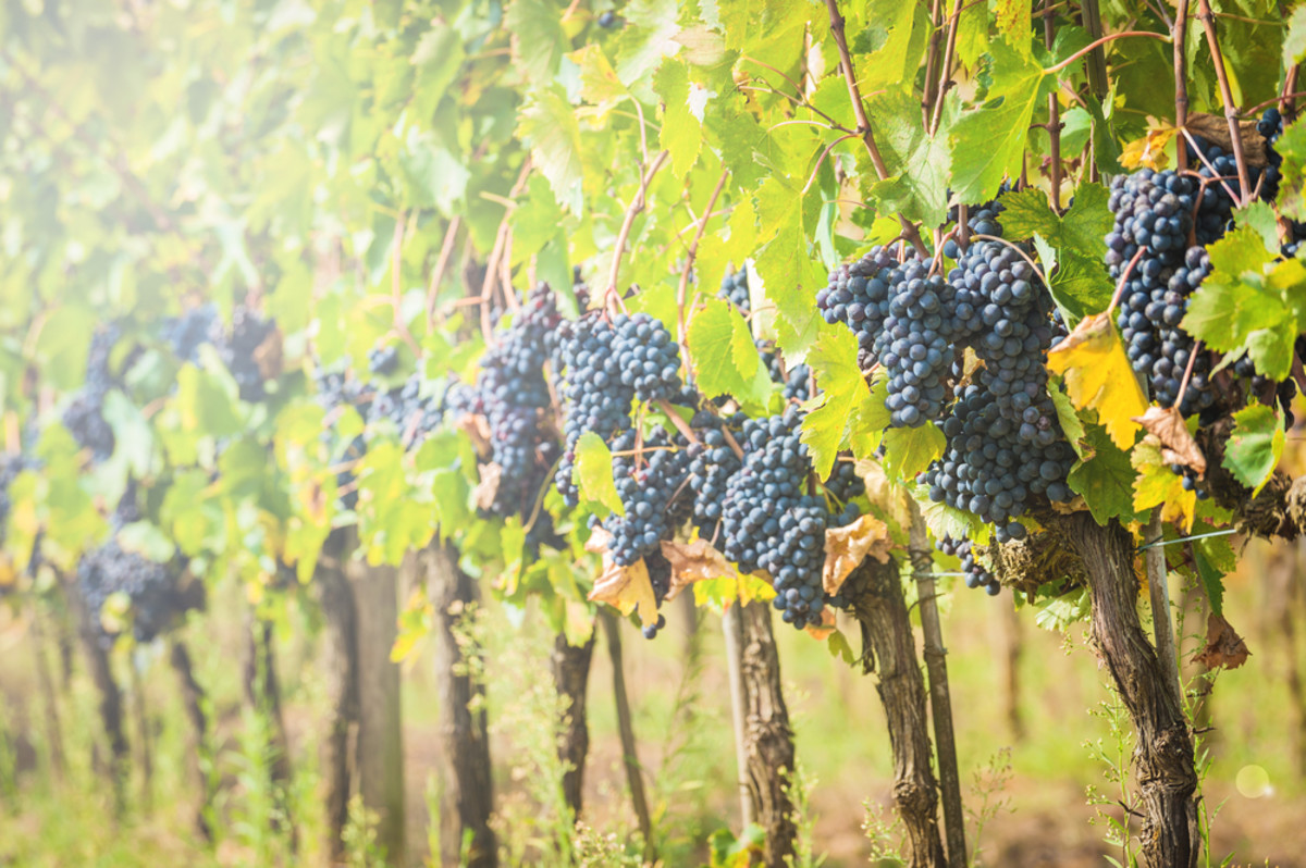 France Launches First Criminal Investigation Over Pesticide-Related Death of Grape Grower