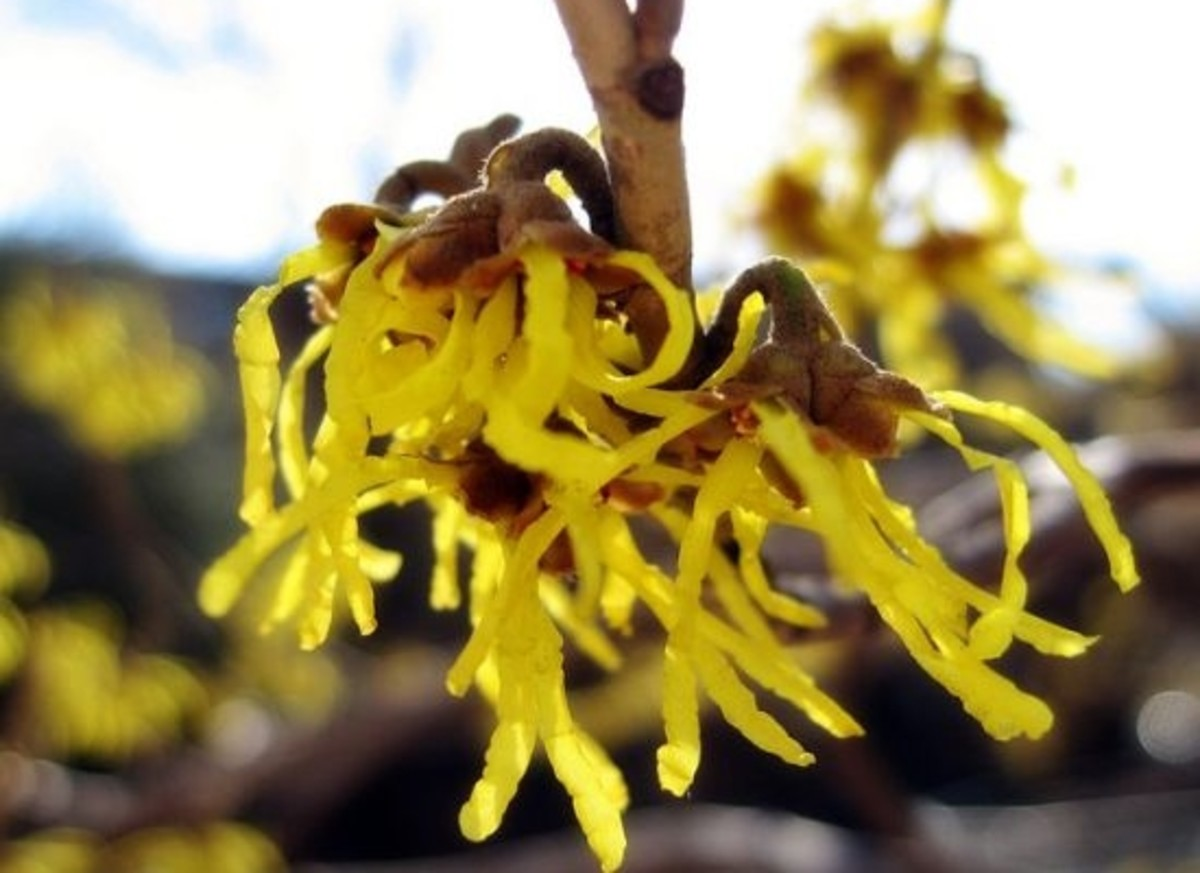 witch-hazel-ccflcr-lady-bug1