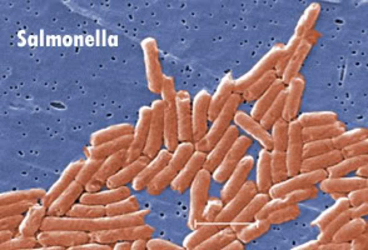 salmonella1