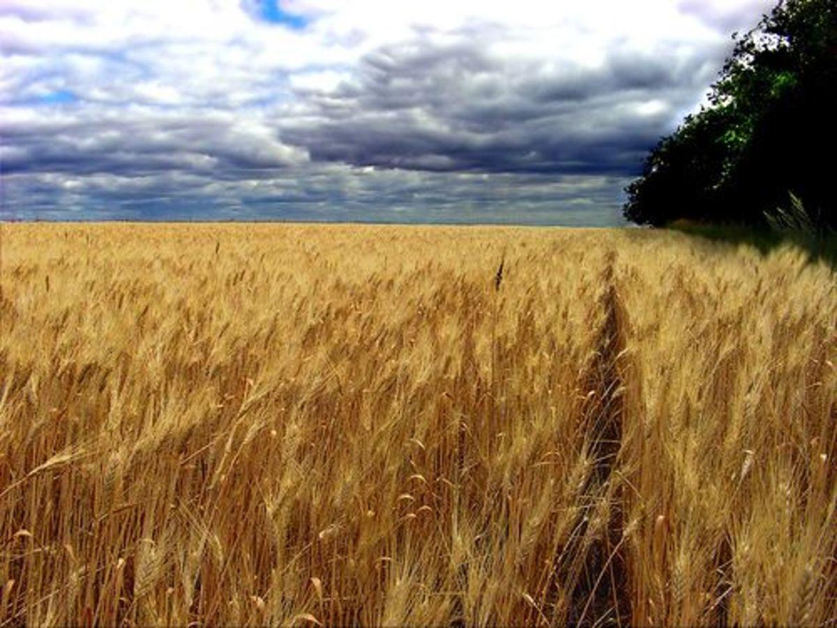wheat_ccfler_ecstaticist