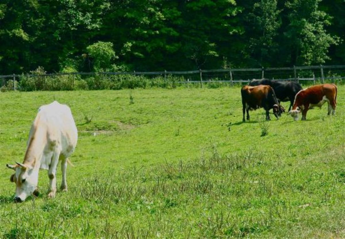 pasturecows-jillslibrary-jillettinger1