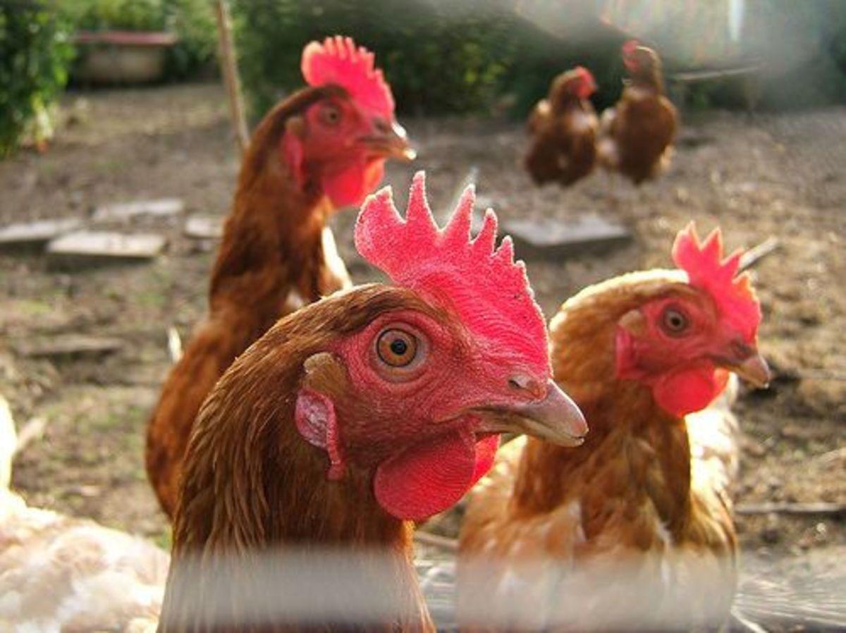 chickens_ccfler_petercooperuk