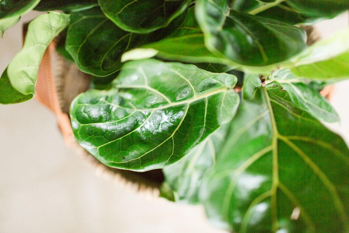 How to Make Your Fiddle Leaf Fig Happy