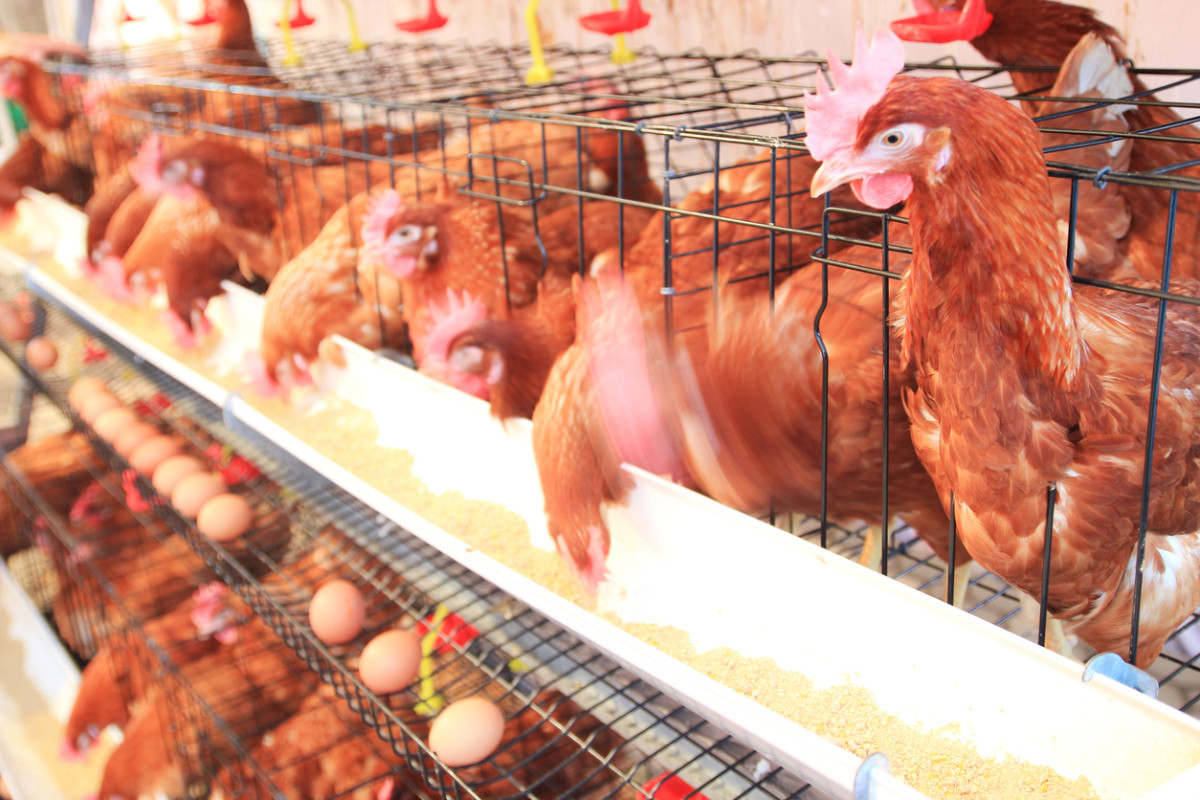 First Ever Egg Factory Farm Drone Exposé Reveals the Horrific Reality for Millions of Hens