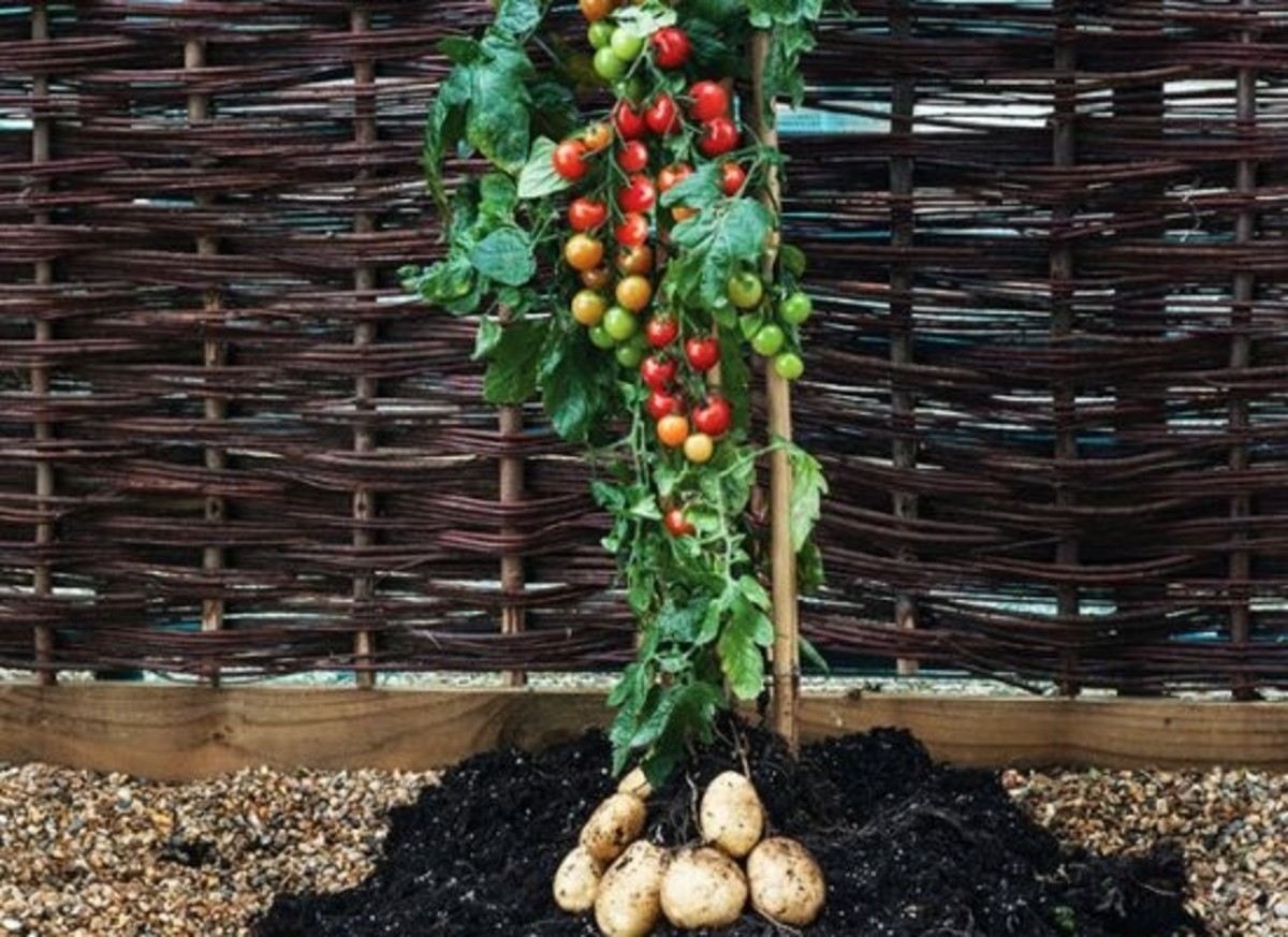 TomTato-Plant