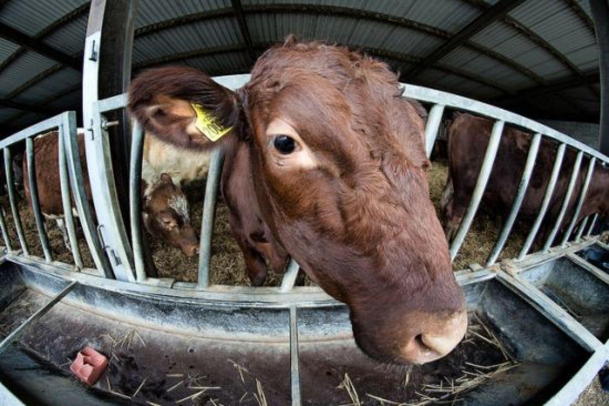 cow-ccflcr-paulstevenson