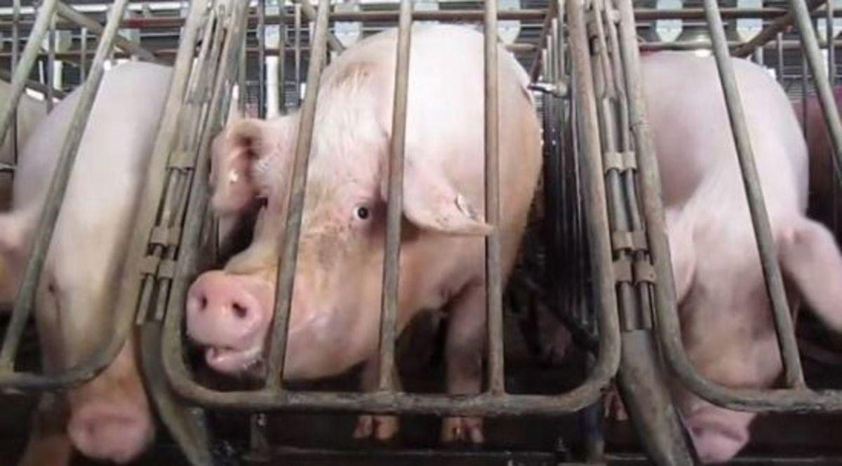 martha-stewart-pig-gestation-crates-wmc