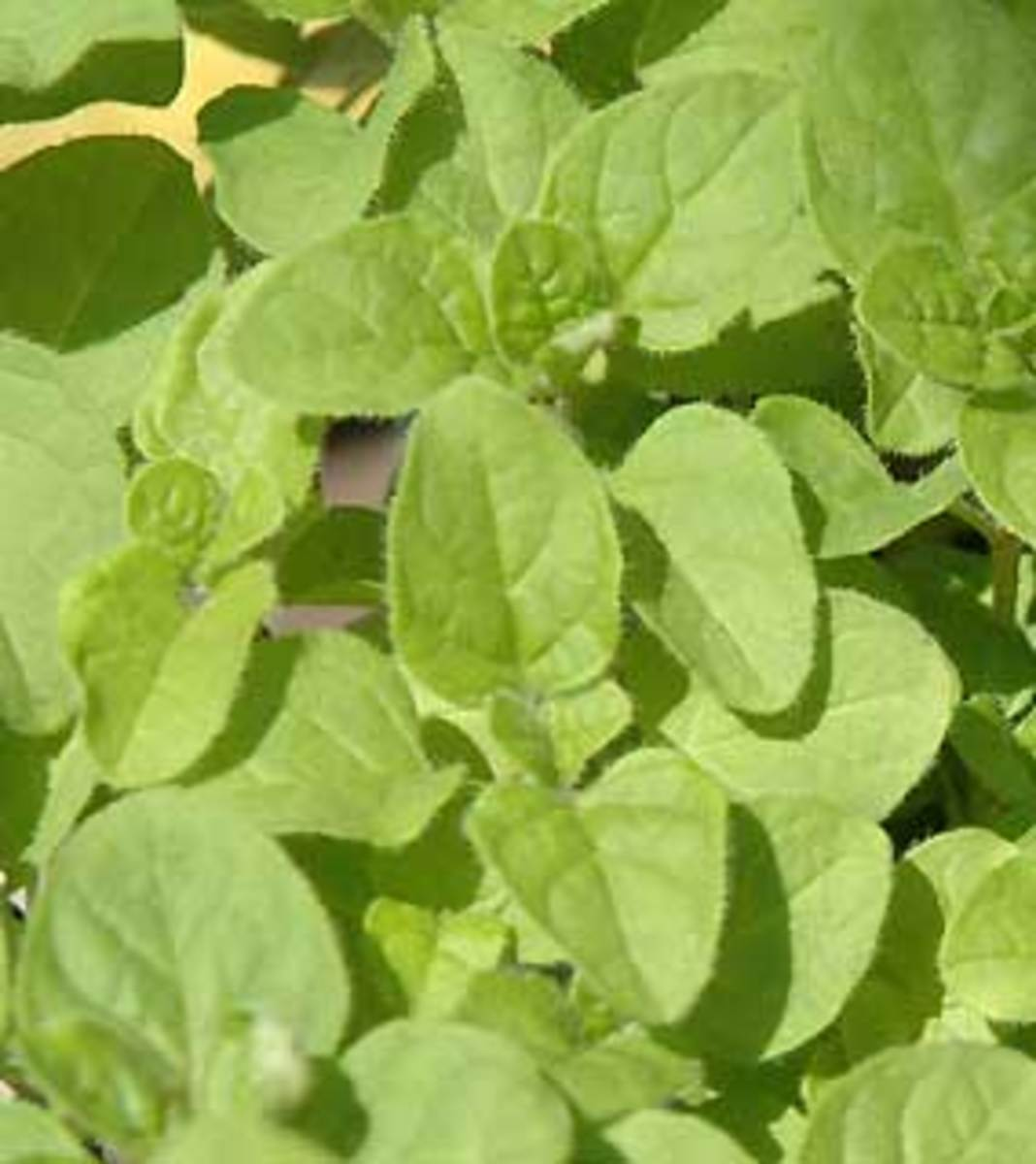 mt_ignore:organic oregano