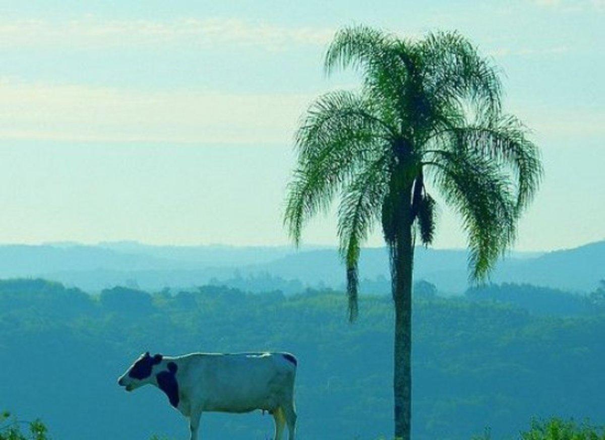 brazilcattle-ccflcr-eduardoamorim