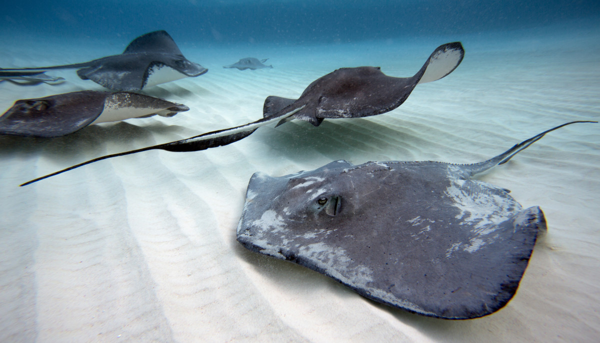 Southern Stingrays, Grand Cayman Islands.