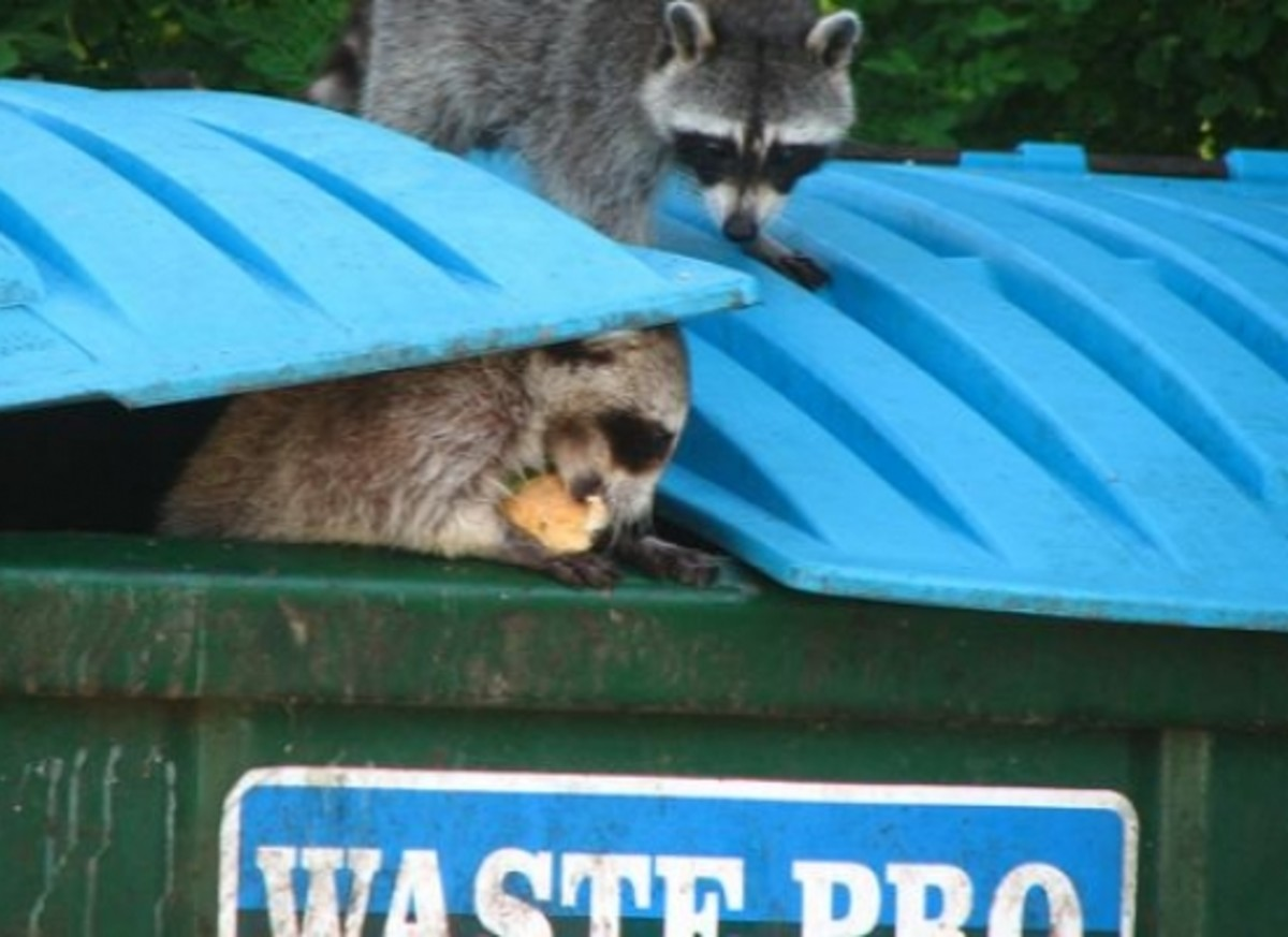 Raccoons Food Waste