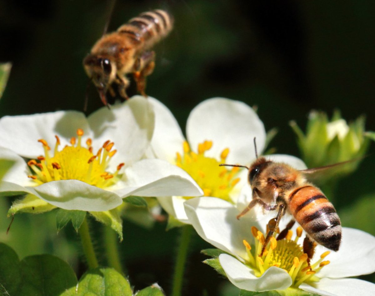honeybees can be affected by neonicotinoid pesticides