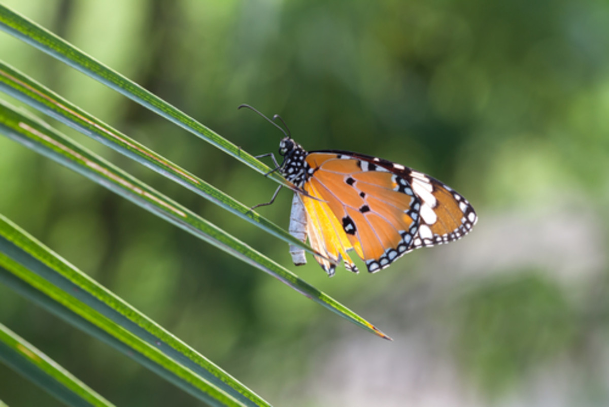 Report Finds Monsanto's Roundup Directly Responsible for Declining Monarch Butterfly Populations