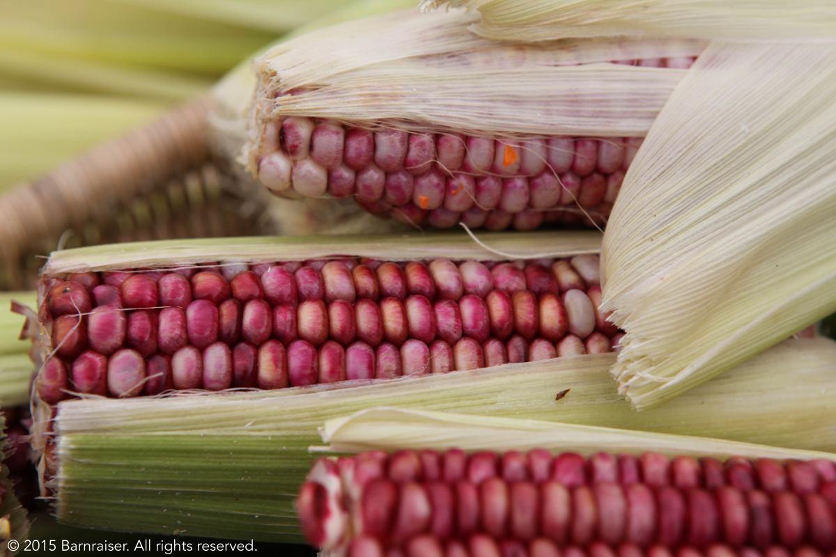 Pink Corn - barnraiser