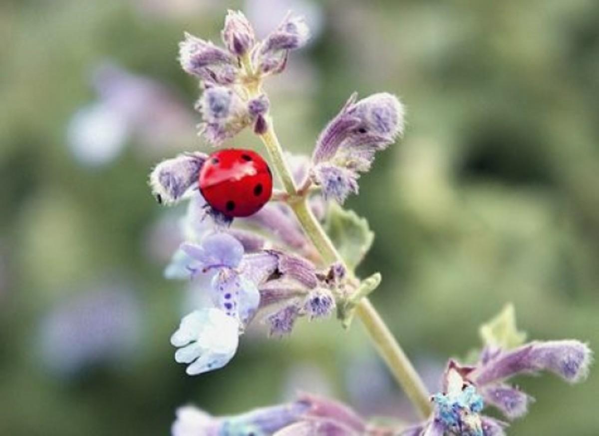 ladybug-ccflcr-doerky