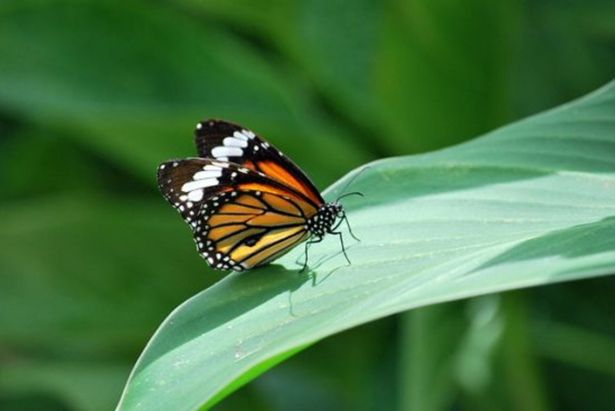 butterfly-ccflcr-pictographic1