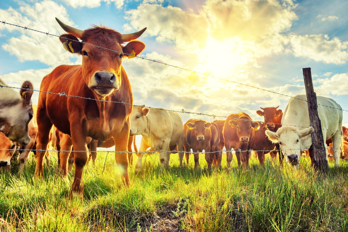 Organic Meat and Milk Offer 50 Percent More of This Key Nutrient than Conventional