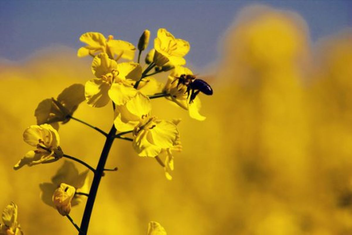 Bee pollinating canola plant
