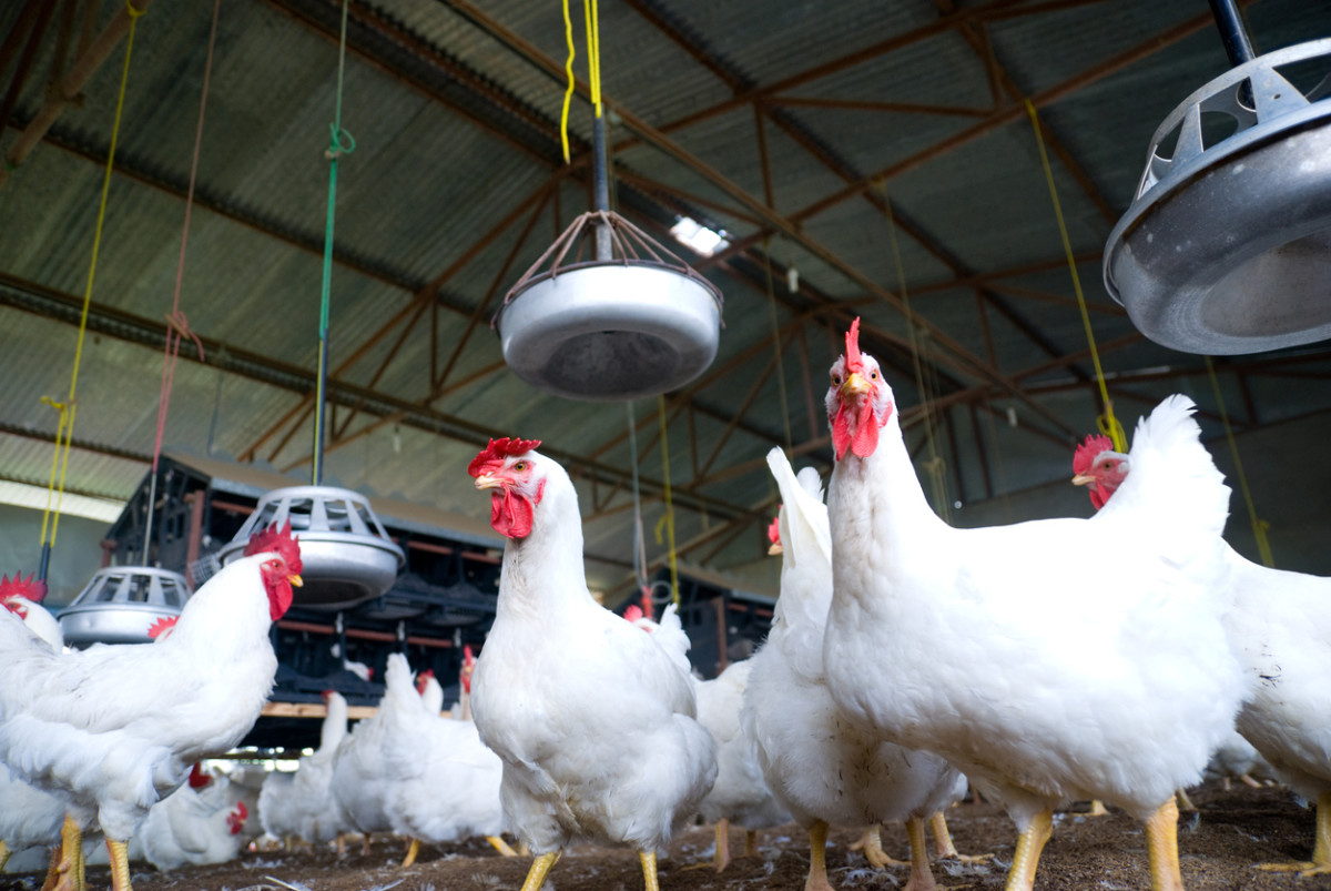 Organic Chicken Pioneer Triples Production as Demand Skyrockets