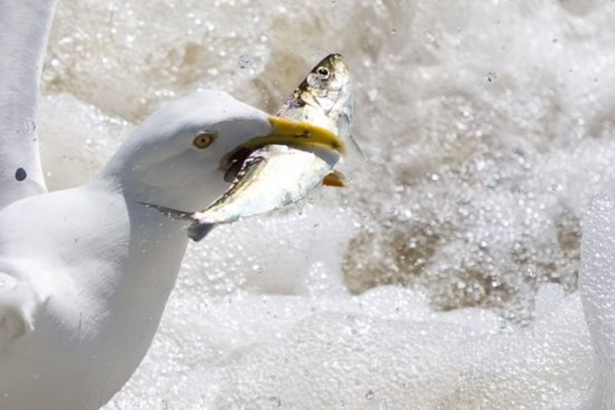 A new study finds mercury toxicity in seabirds on the rise