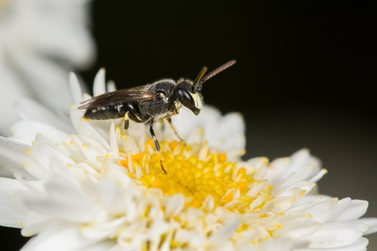 7 Hawaiian Bees Added to Endangered Species List