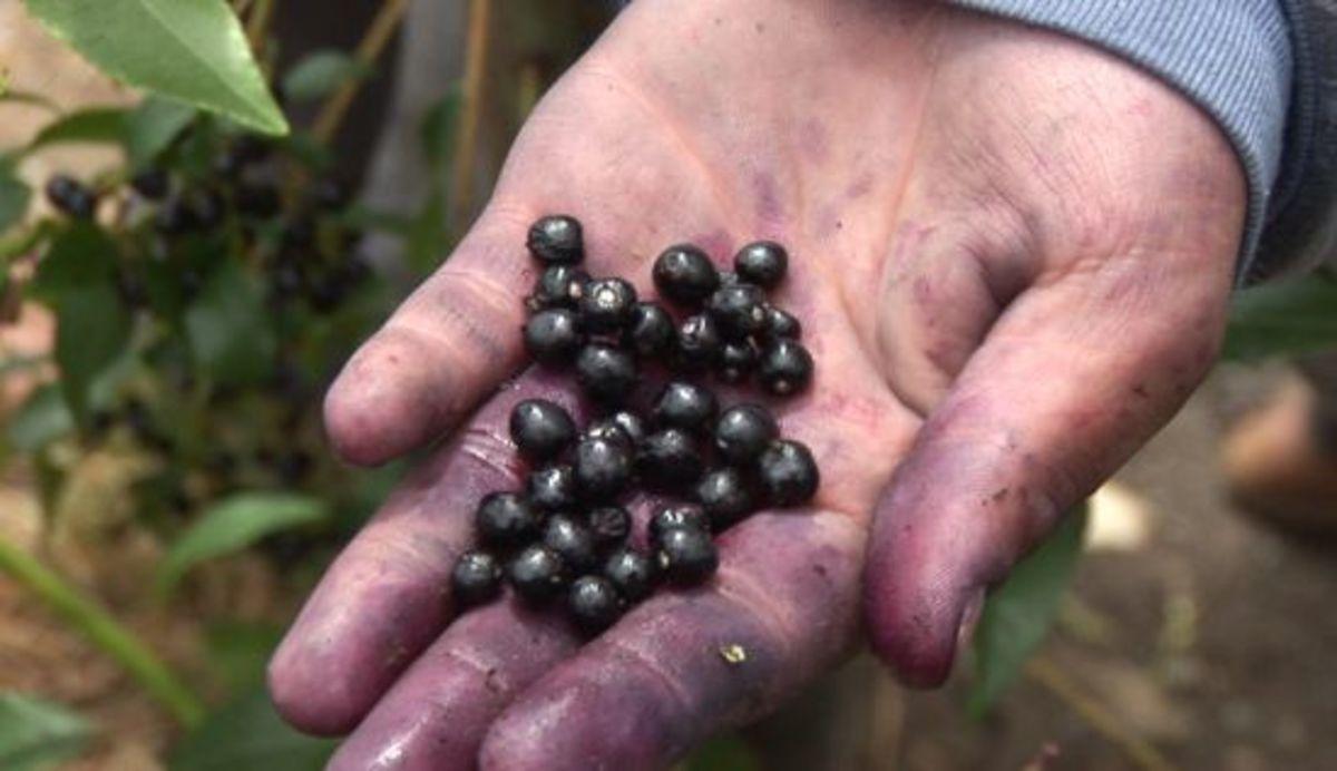 maquiberries-navitas-navitas