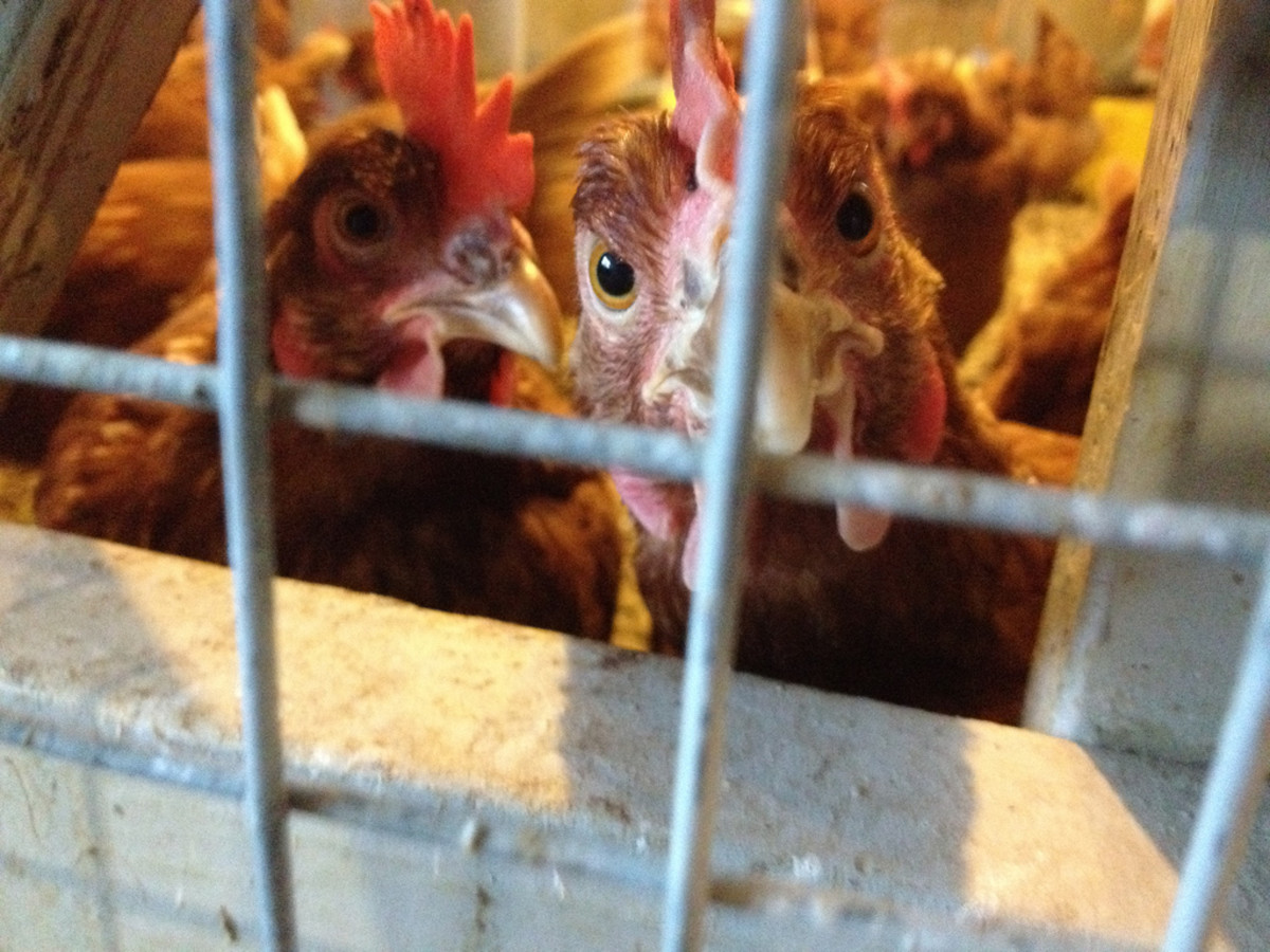 the ugly truth about factory farming and the chicken you eat
