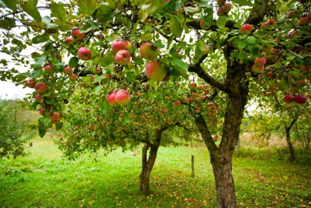 """A Practical How-To for Anyone Who Has Ever Wondered, """"What is Fruit Tree Grafting?"""""""