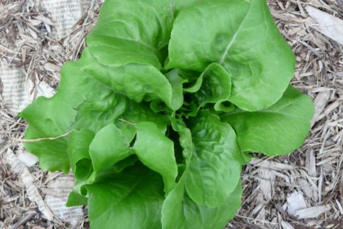 lettuce-ccflcr-jannanab