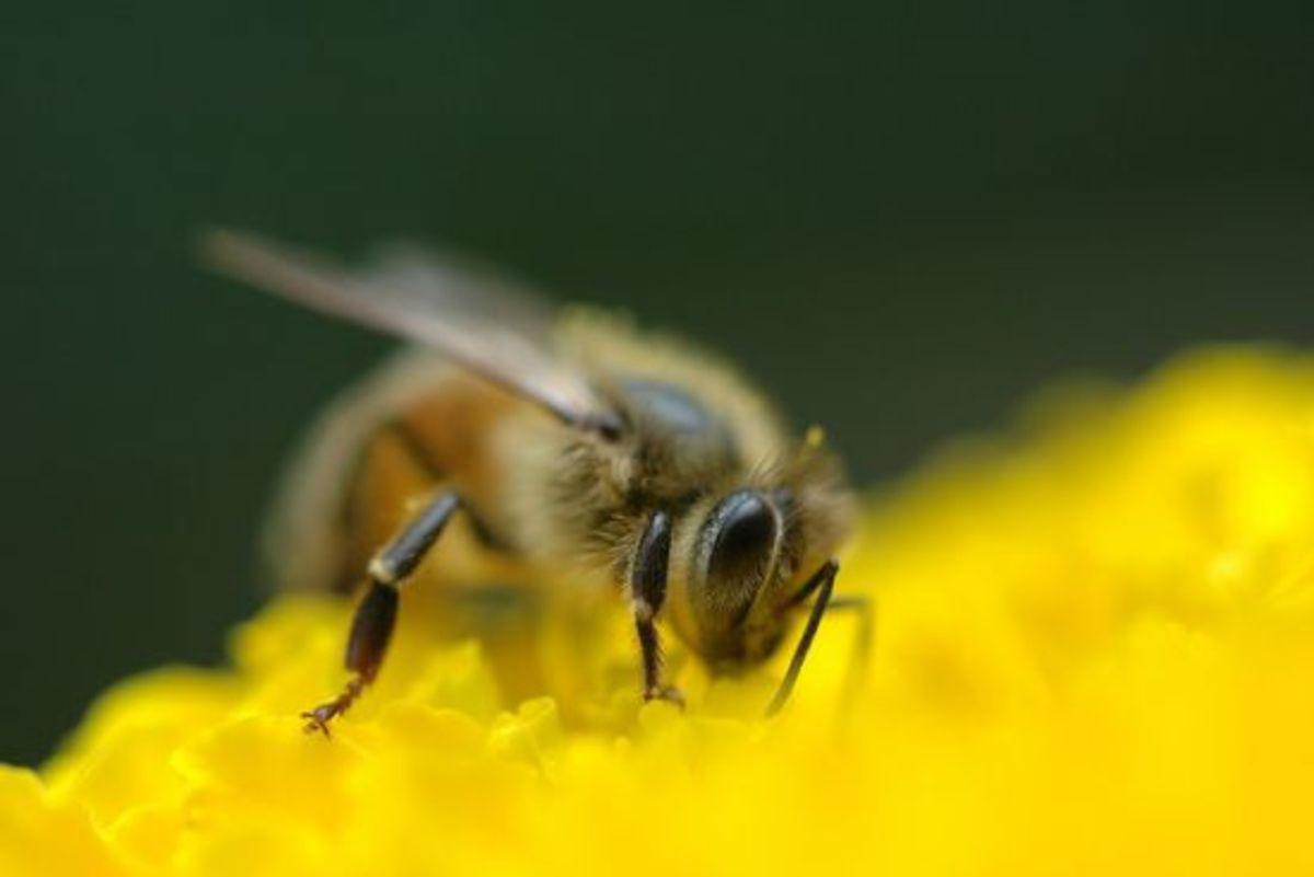 honeybee-ccflcr-cygnus9211