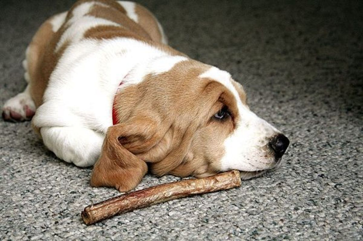 How Often Can You Give Your Dog A Bully Stick