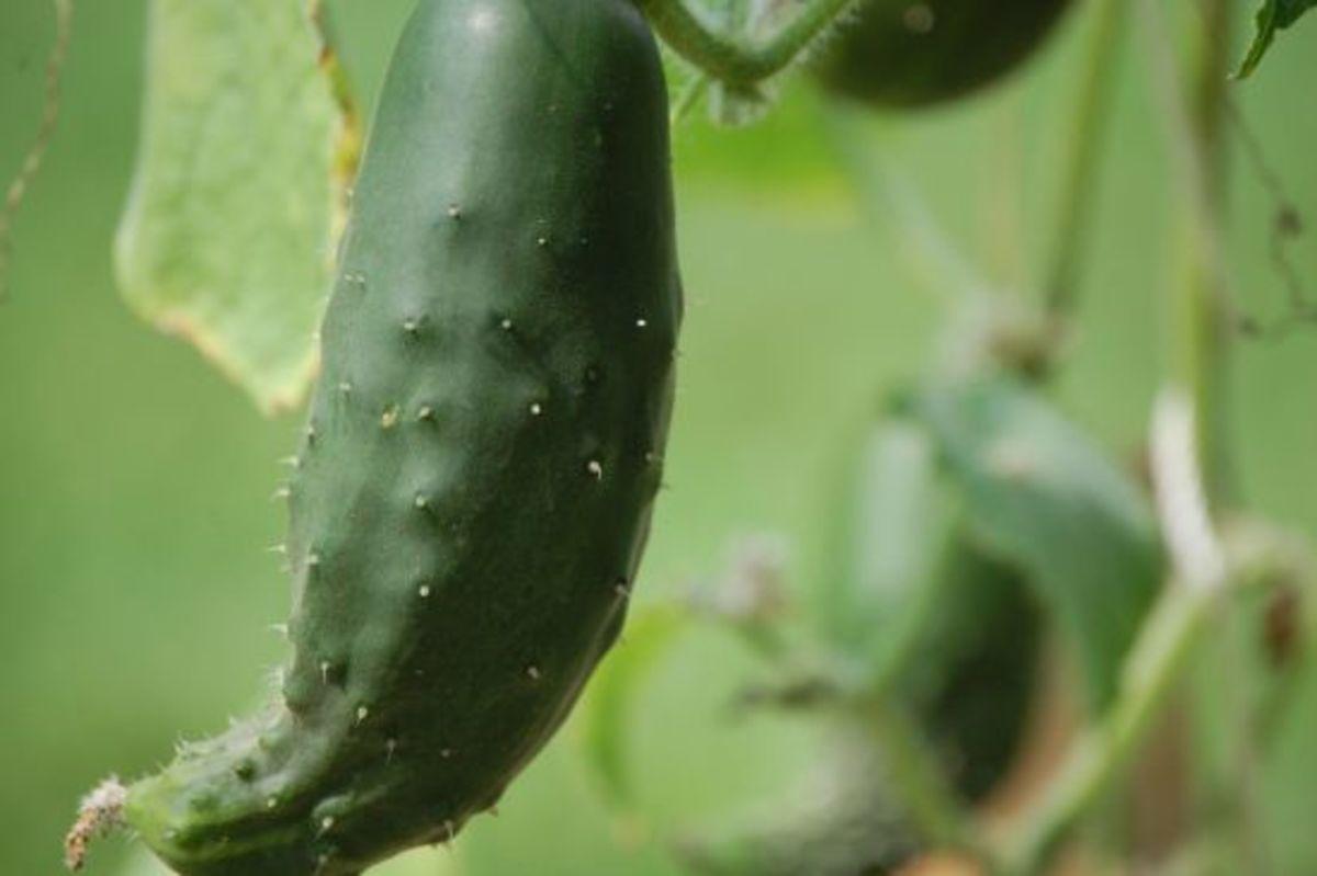 cucumber-Laurelville-Mennonite-Church-Center