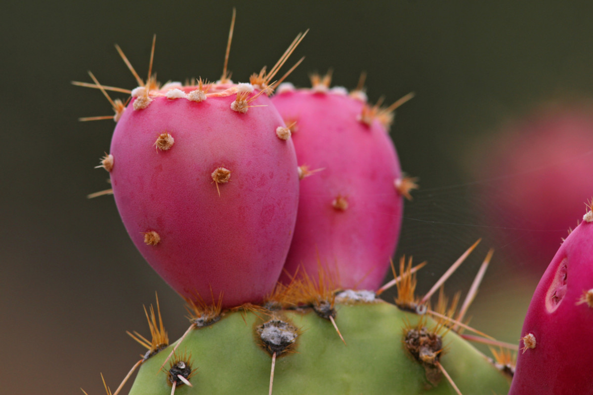 Prickly Pear Cactus, Papaya, and Kale Top List for Illegal Pesticide Contamination, Report Finds
