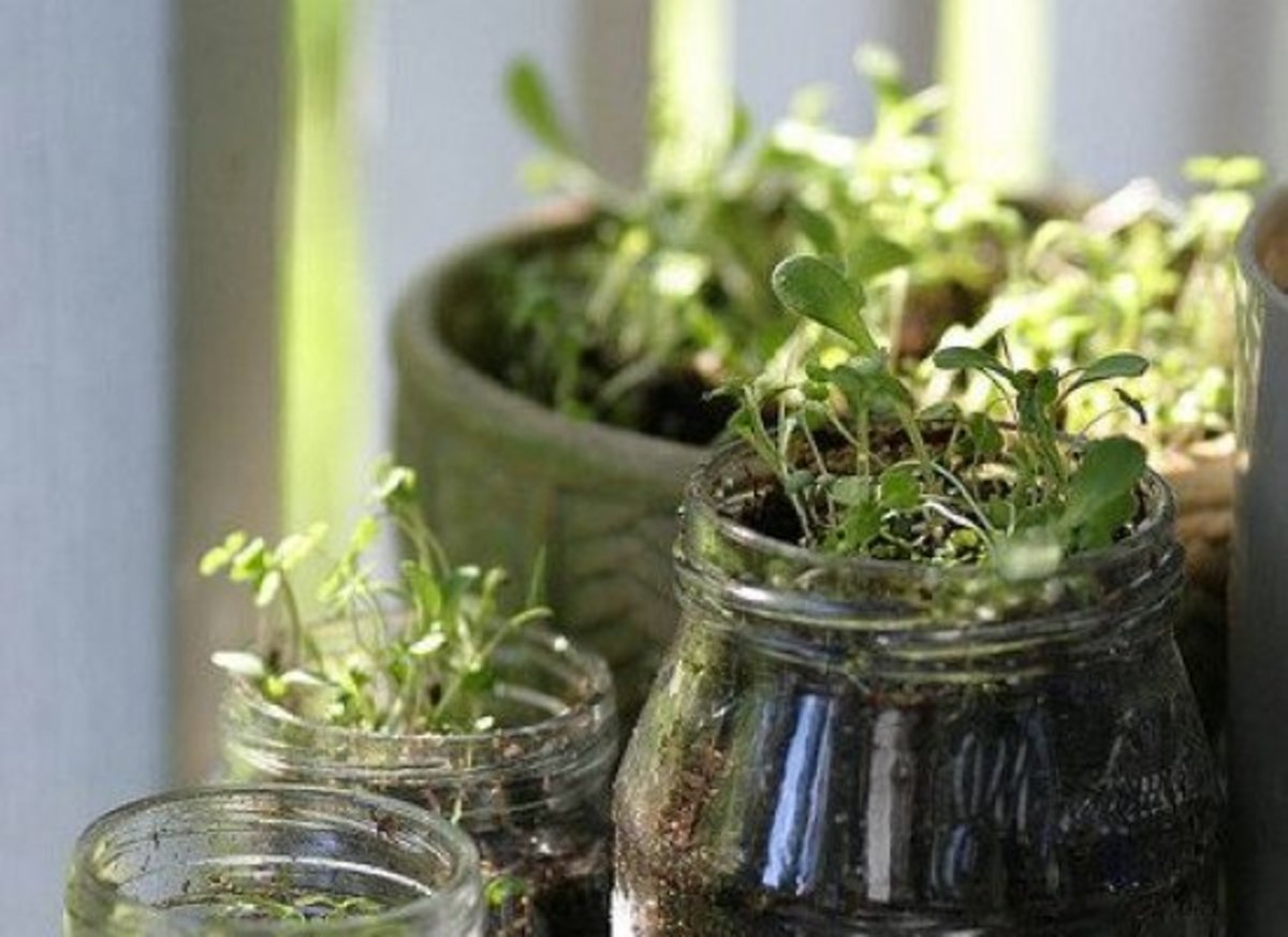 Forget The Usual Terracotta And (ugh!) Plastic Pots For Container Gardening.  When You Grow Herbs In Mason Jars, You Can Have Garden Fresh Ingredients On  ...