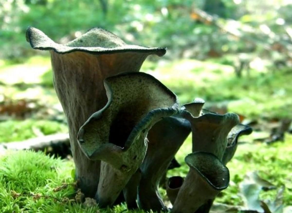 mushroom-ccflcr-DaveBonta