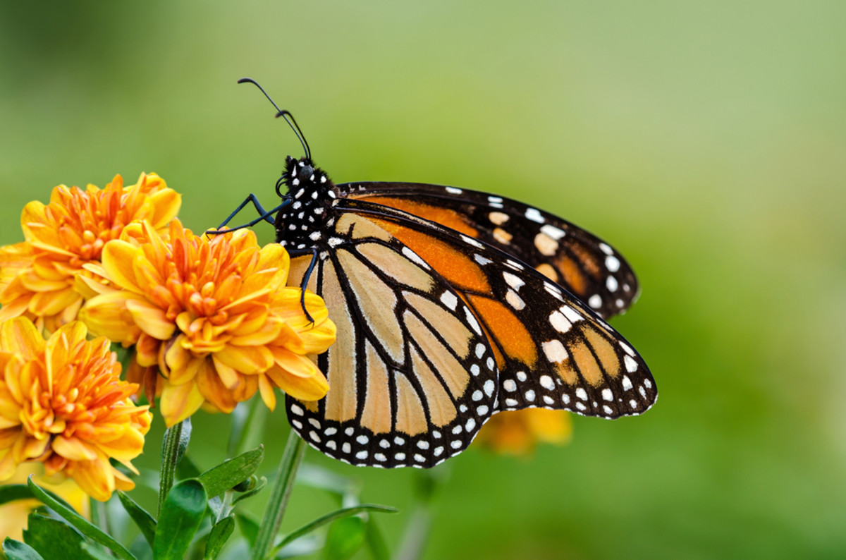 Helping the Monarch Butterfly