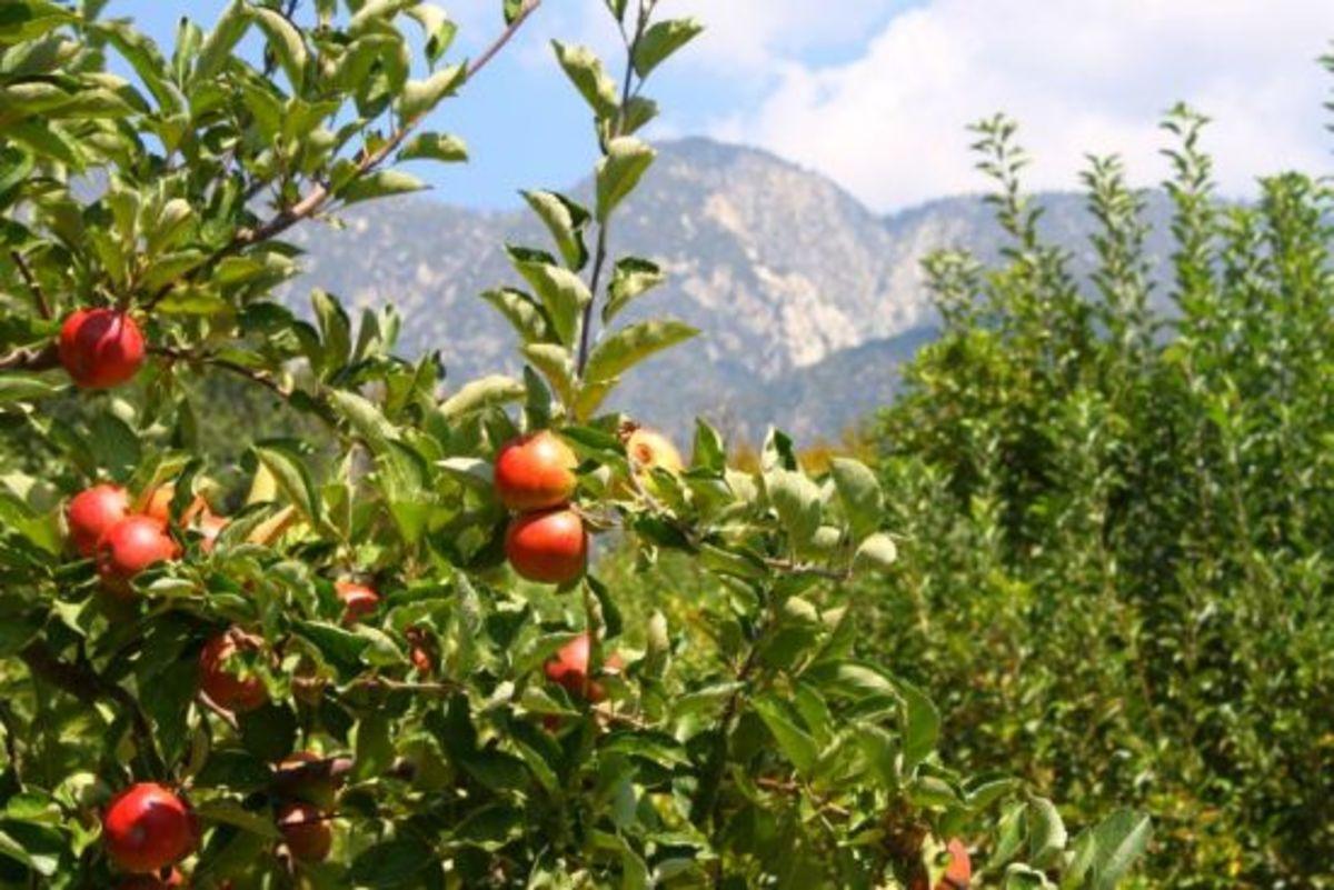 applesSKIES