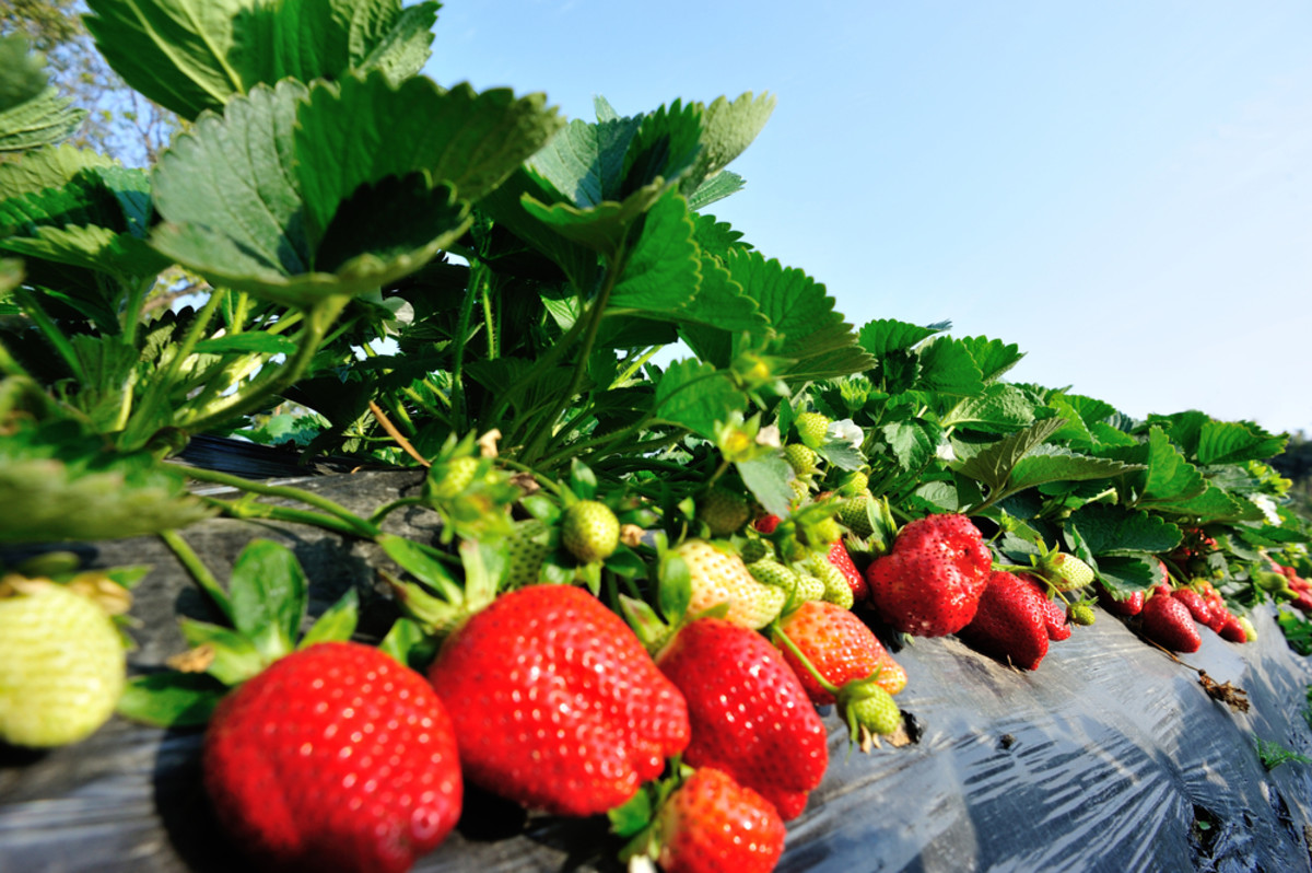 California's Strawberry Fields Produce Pesticide Drift Endangering Ventura County Schools