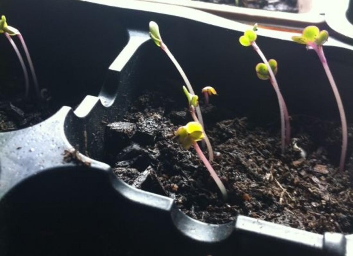 seedlings-jillslibrary-jillettinger