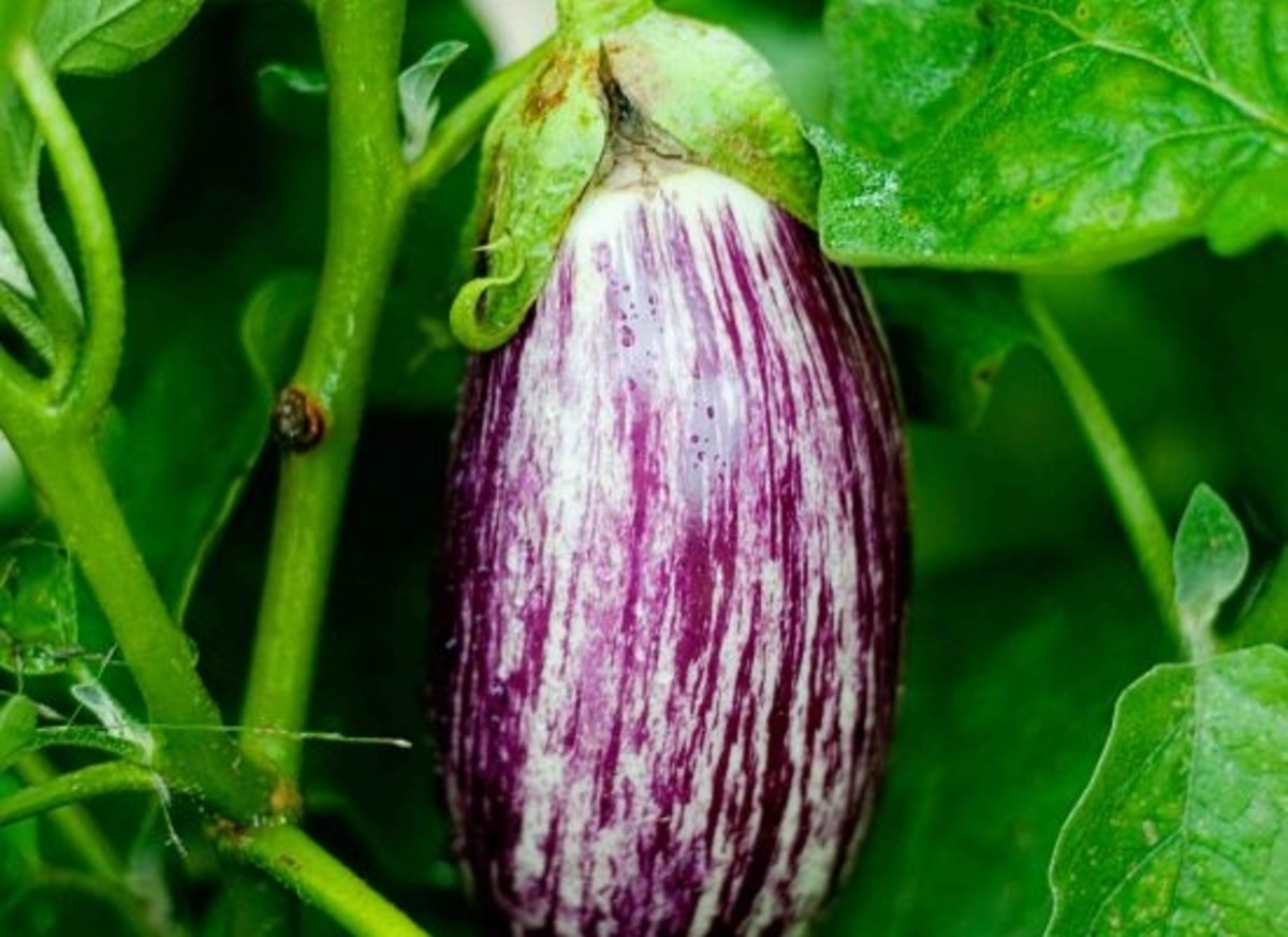 eggplant-farmhouse-farmhouse