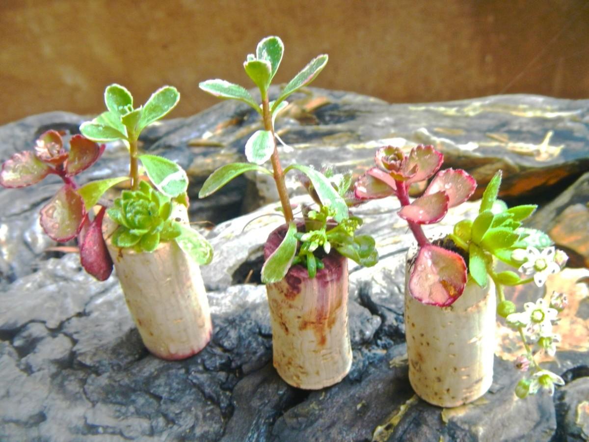 Make a succulent garden using wine corks.