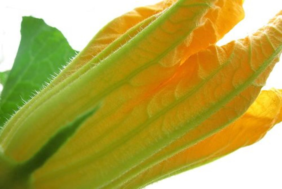 squash-blossom-ccflcr-katrinket