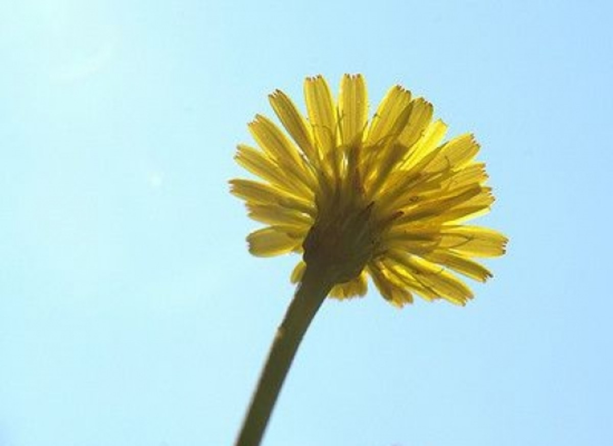 dandelion-ccflcr-cygnus9211