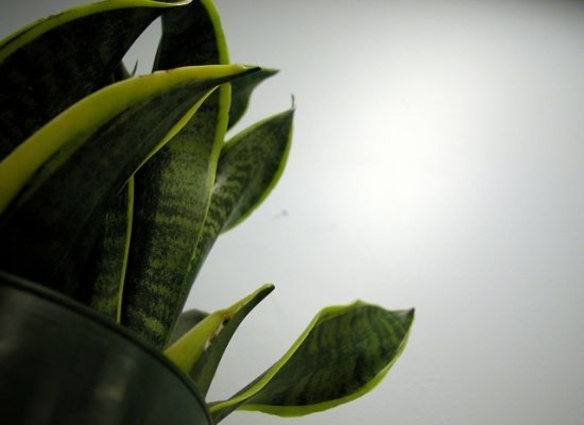 snake-plant-cclfcr-swirlingthoughts