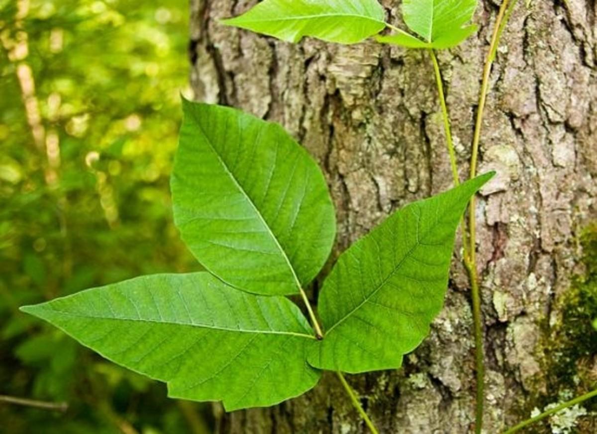 poison-ivy-ccflcr-ZeNeeceC