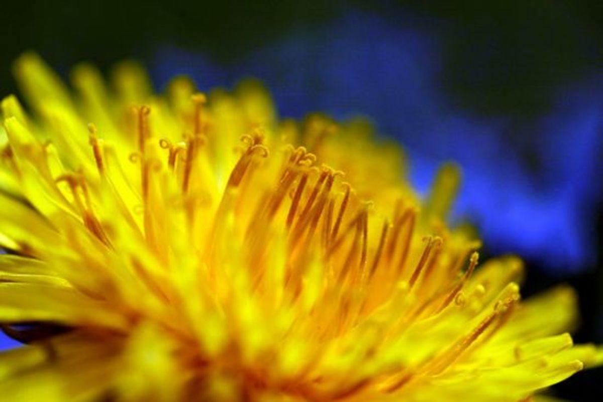 dandelion-ccflcr-luckywhitegirl