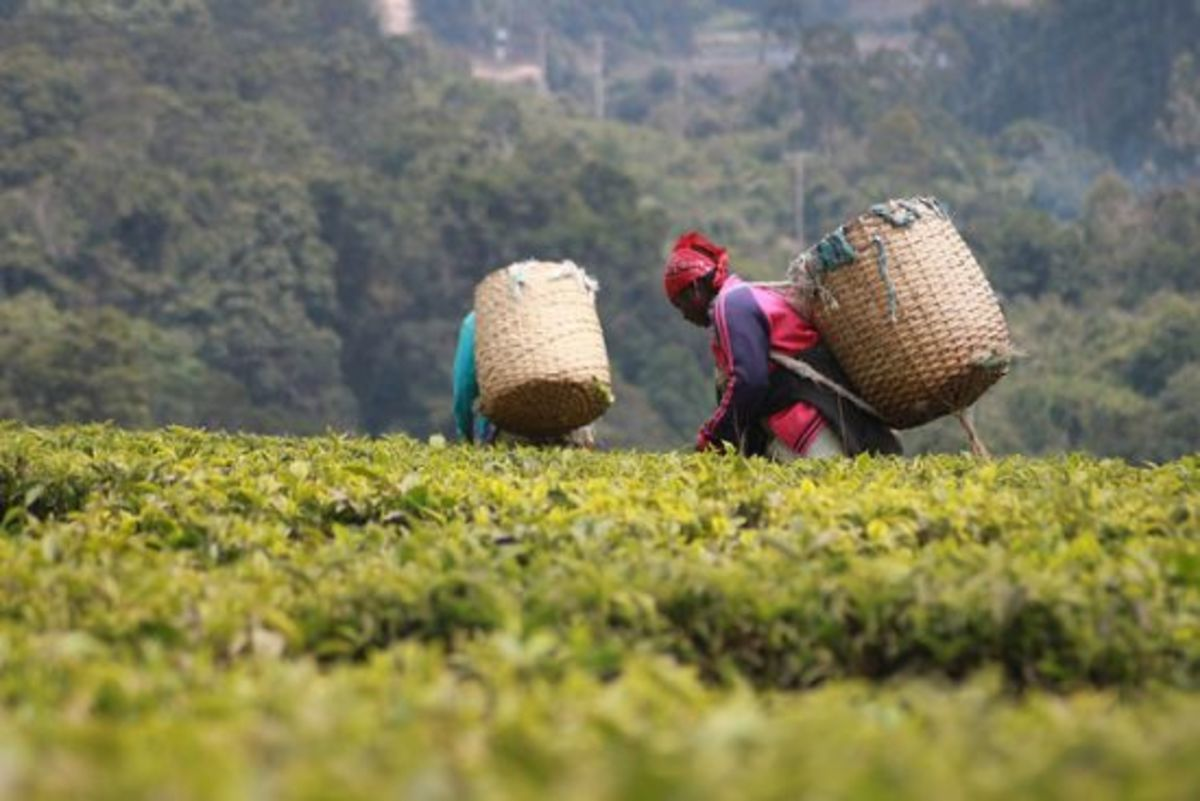 Fair trade tea pickers