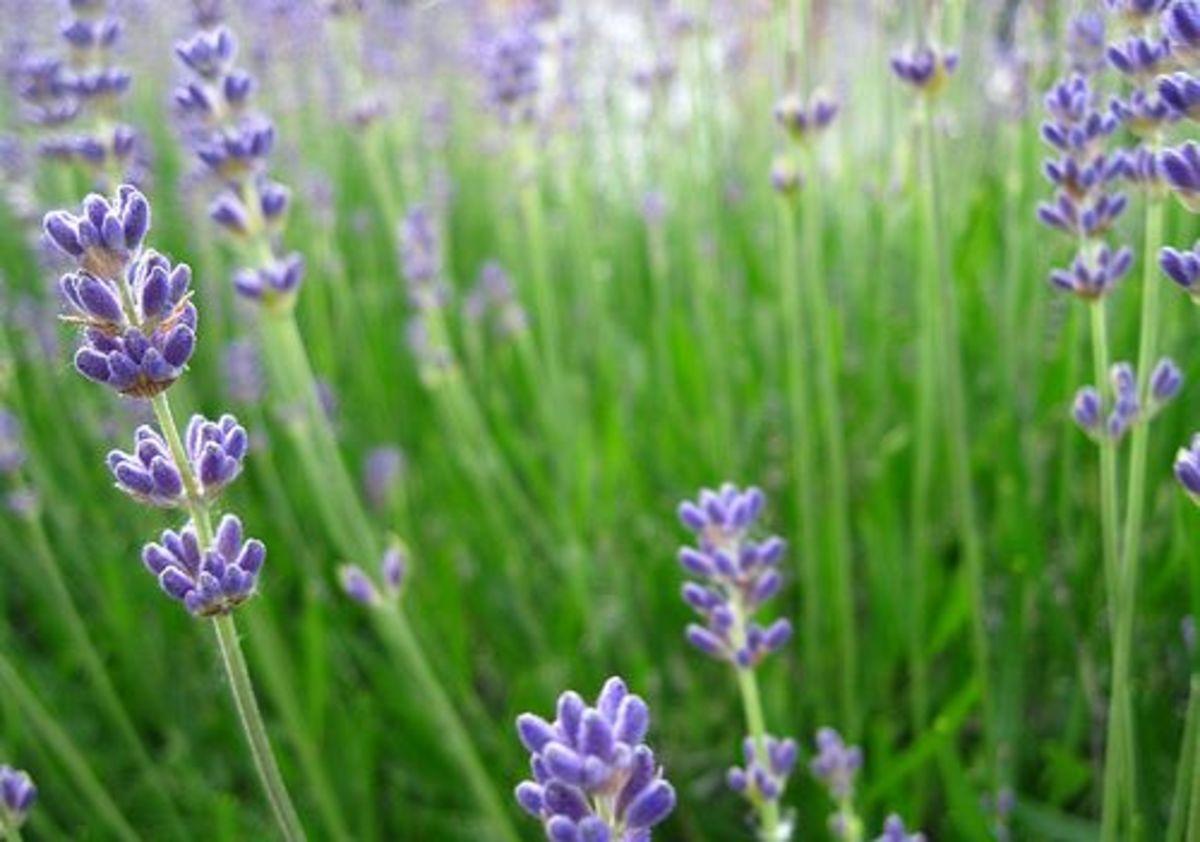 lavender-ccflcr-selma90