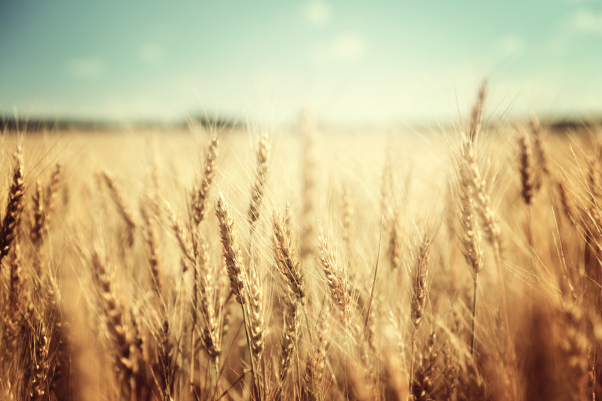 effects of climate change may include toxic wheat