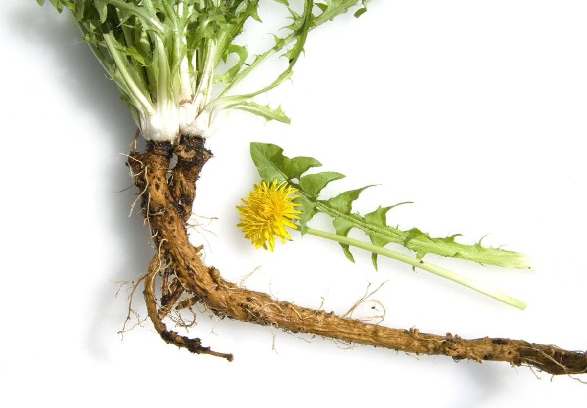 Why Dandelion Root Tea is the Hottest New Way to Start Your Day?